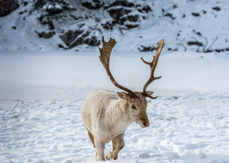 走在雪的白变种小鹿 免版税库存图片