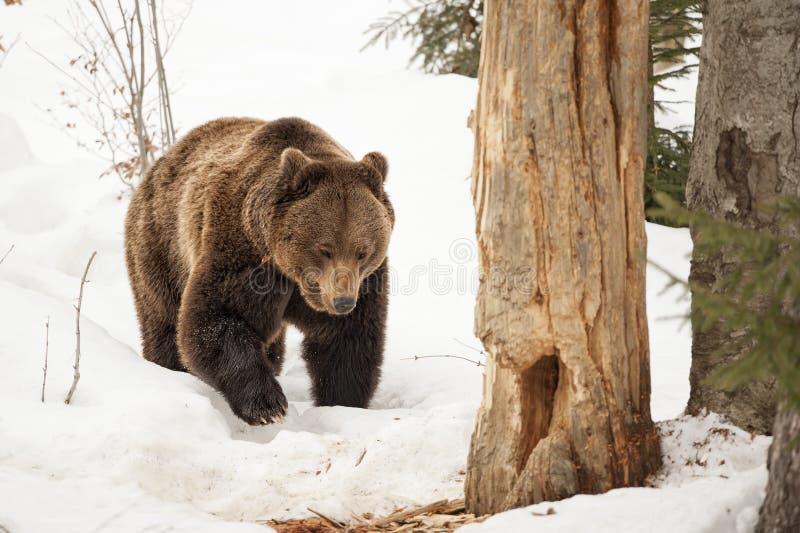 走在雪的被隔绝的黑熊褐色北美灰熊 免版税库存图片