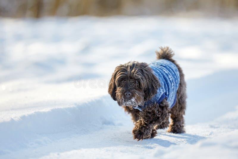 走在雪的黑havanese狗 库存照片
