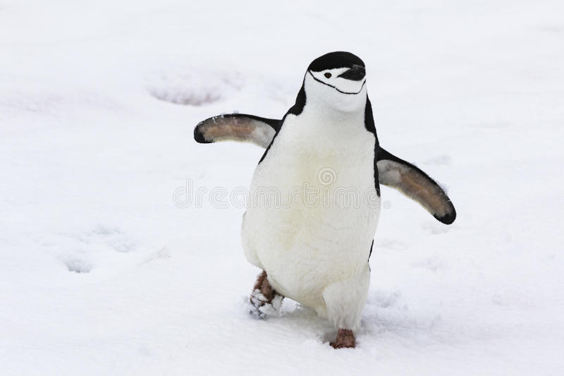 走在雪的Chinstrap企鹅 库存照片