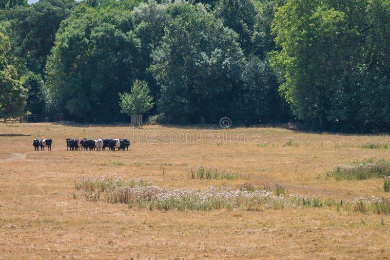 走在领域的母牛 免版税库存图片