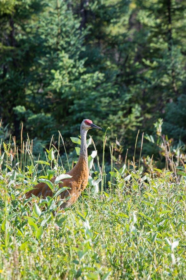 走在高野草和低灌木的Sandhill起重机(安提歌尼canadensis)在麦肯齐河,西北地区(NWT) Cana 库存照片