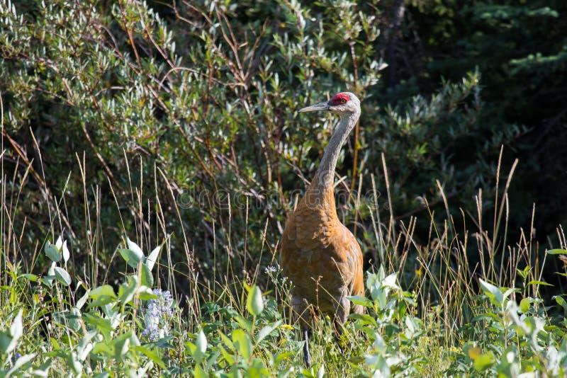 走在高野草和低灌木的Sandhill起重机(安提歌尼canadensis)在麦肯齐河,西北地区(NWT) Cana 免版税图库摄影