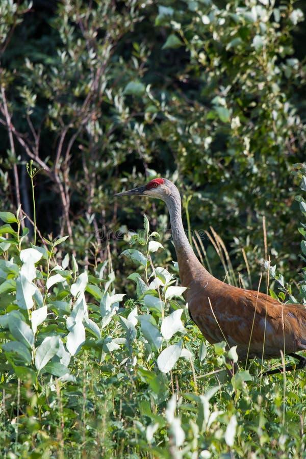 走在高野草和低灌木的Sandhill起重机(安提歌尼canadensis)在麦肯齐河,西北地区(NWT) Cana 免版税库存照片