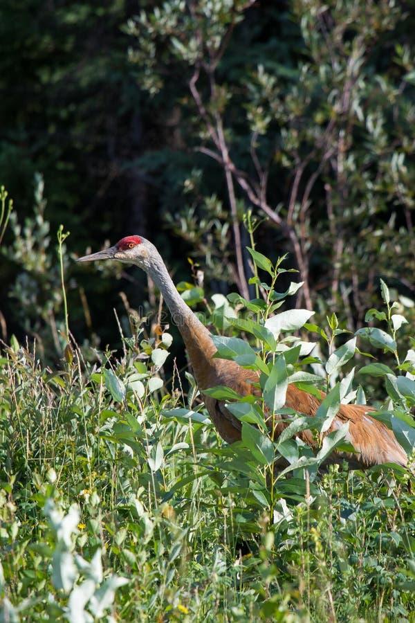 走在高野草和低灌木的Sandhill起重机(安提歌尼canadensis)在麦肯齐河,西北地区(NWT) Cana 免版税库存图片