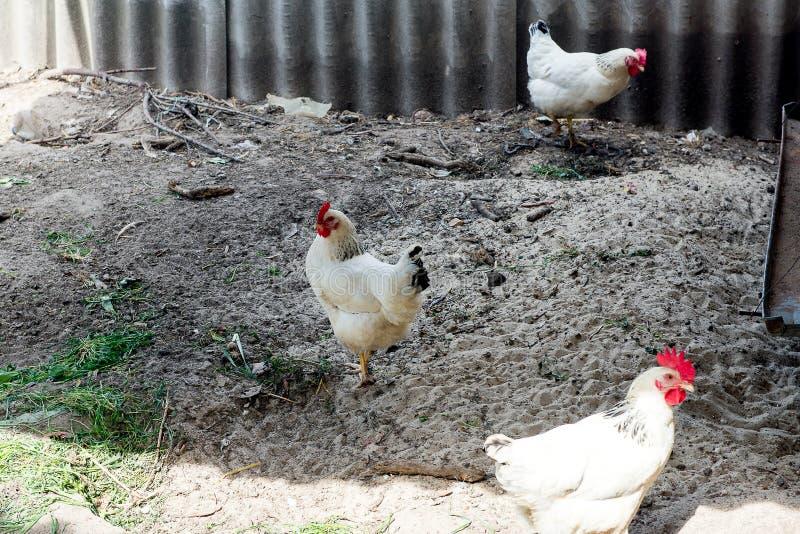 走在鸡舍的白色鸡在春天 农业 鸟类学 禽畜围场 库存图片