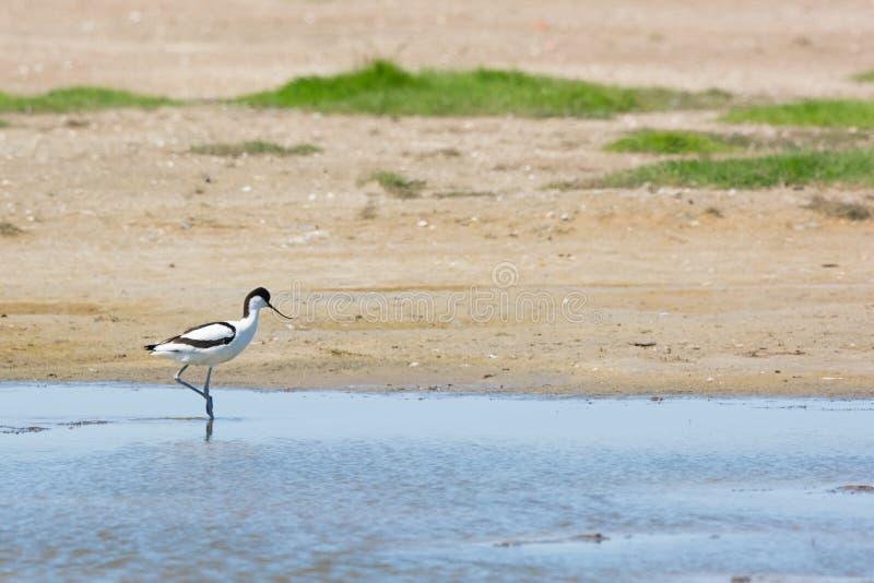 走在水中的染色长嘴上弯的长脚鸟 库存图片