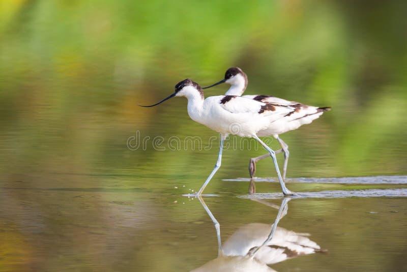 走在水中的染色长嘴上弯的长脚鸟 免版税库存图片