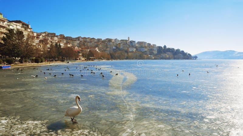 走在冻湖的天鹅 免版税库存照片