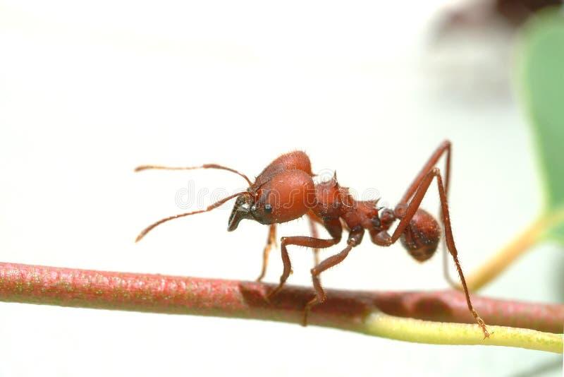 走在绿色叶子的蚂蚁蚂蚁 图库摄影