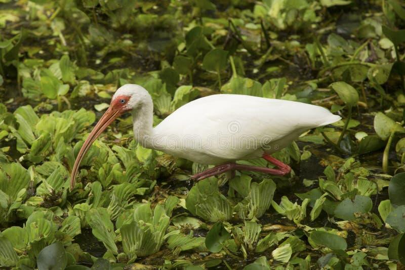 走在水莴苣的白色朱鹭在拔塞螺旋沼泽 免版税库存照片
