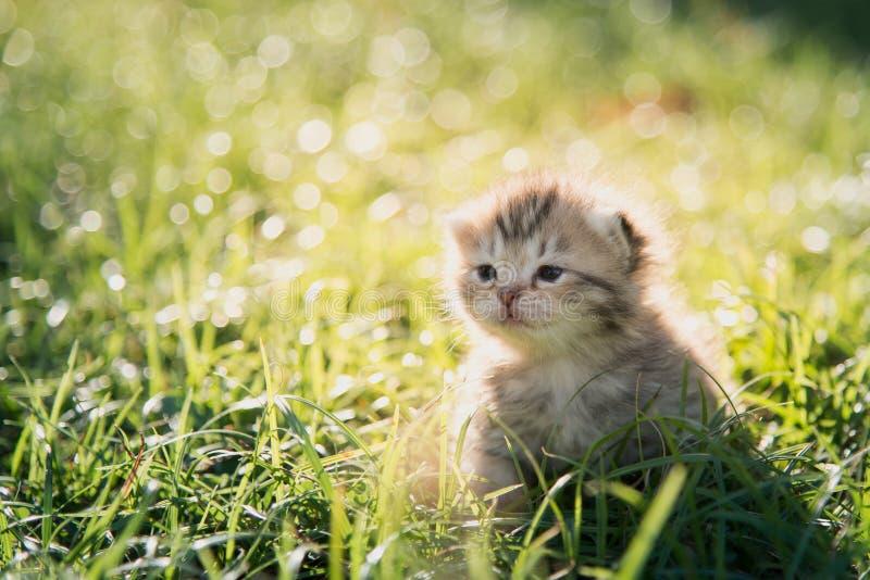 走在绿草的逗人喜爱的美国人Shorthair小猫 库存图片