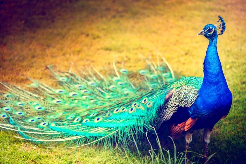 走在绿草,特写镜头射击的孔雀 Biird背景 免版税库存照片