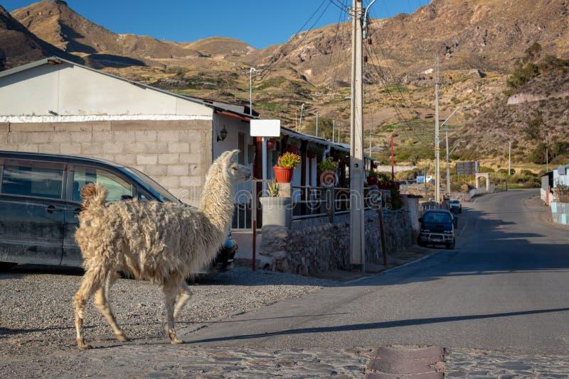 走在Putre智利街道的骆马  免版税库存照片