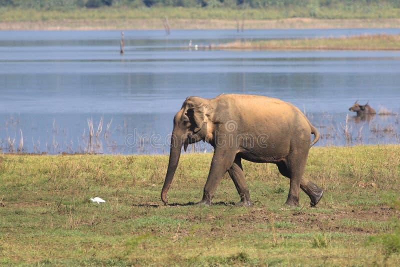 走在Udawalawe国家公园斯里兰卡的大象 图库摄影