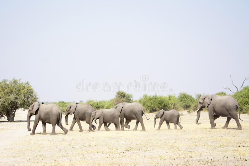 走大象的牧群过去 免版税库存图片