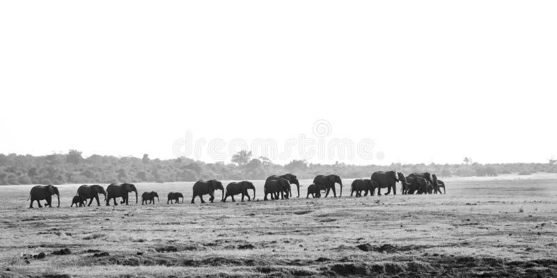 走大象的牧群过去 免版税图库摄影