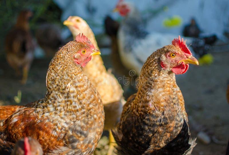 走家庭禽畜的鸡吃草和户外 免版税库存图片