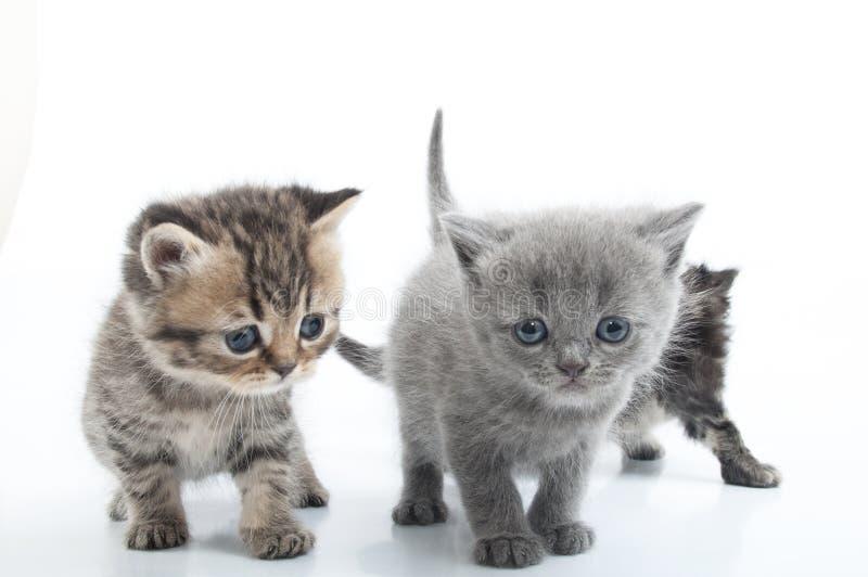 走往一起的组小猫。 工作室射击。 查出 免版税库存照片