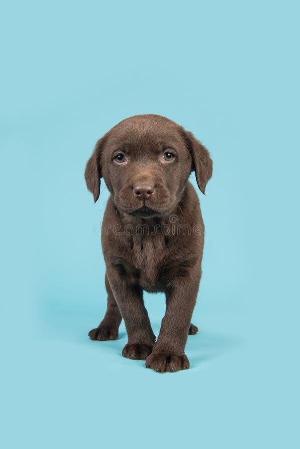走往照相机的常设棕色巧克力拉布拉多猎犬小狗 免版税库存照片