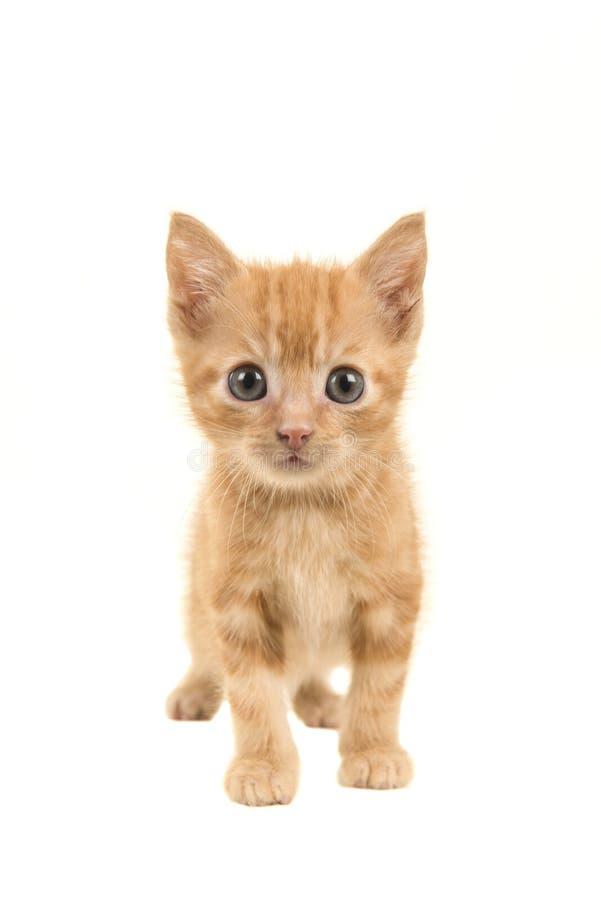 走往照相机的常设红姜小猫 库存照片