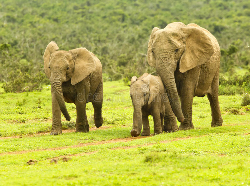 走往waterhole的大象家庭 库存照片
