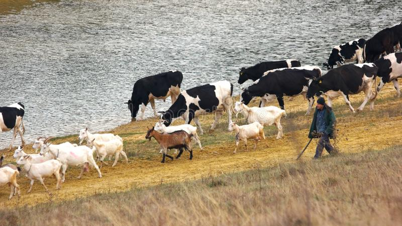 走户外牛牧群 库存照片