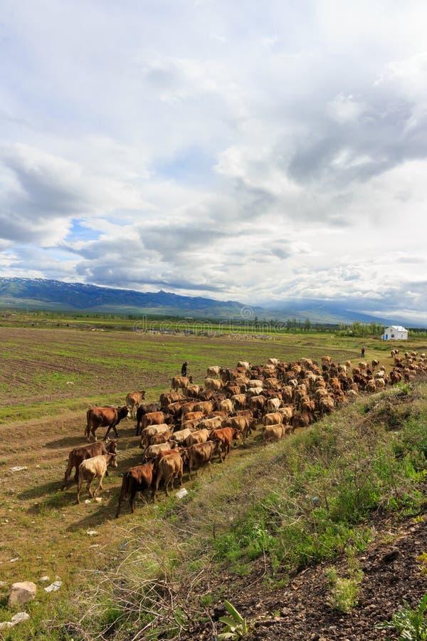 走户外牛牧群 图库摄影