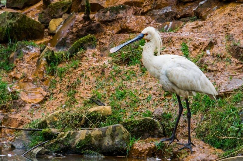 走欧亚篦鹭的鸟,欧亚大陆共同的涉水鸟  库存图片