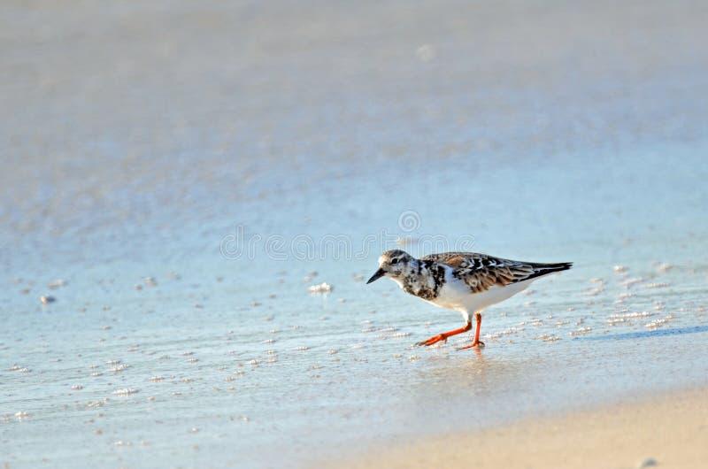 走沿与拷贝空间的湿沙子的美国翻石鹬矶鹞鸟 库存图片