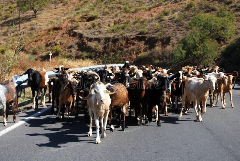 山路的,西班牙牧羊人。 免版税库存图片
