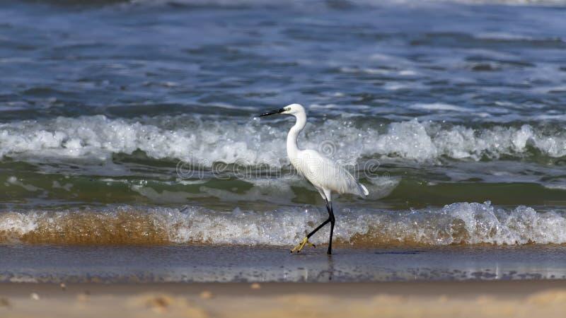 走沿海岸特写镜头的泡沫波浪的一只白色小的苍鹭鸟的侧视图 免版税库存照片