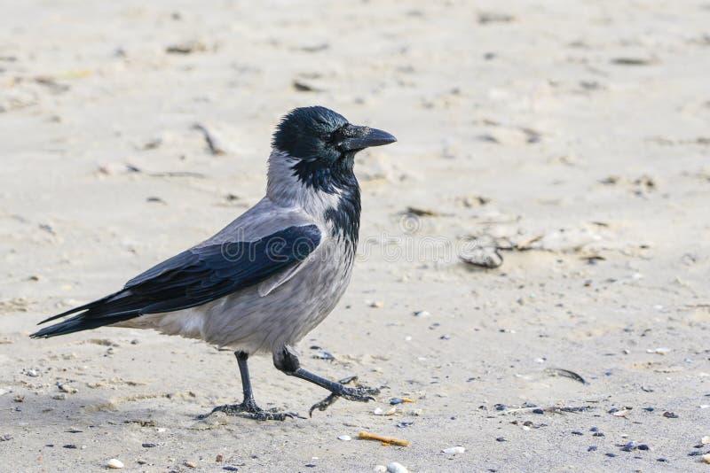 走沿海滨的一只灰色乌鸦 图库摄影