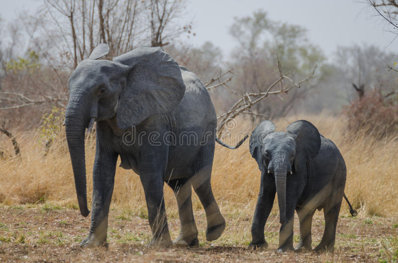 走沿着他的大草原风景的,彭贾里国家公园,贝宁母亲的年轻小非洲大象 免版税库存图片