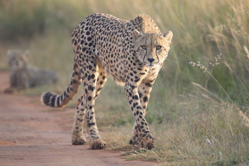 走沿路的母猎豹到她的崽 免版税库存照片