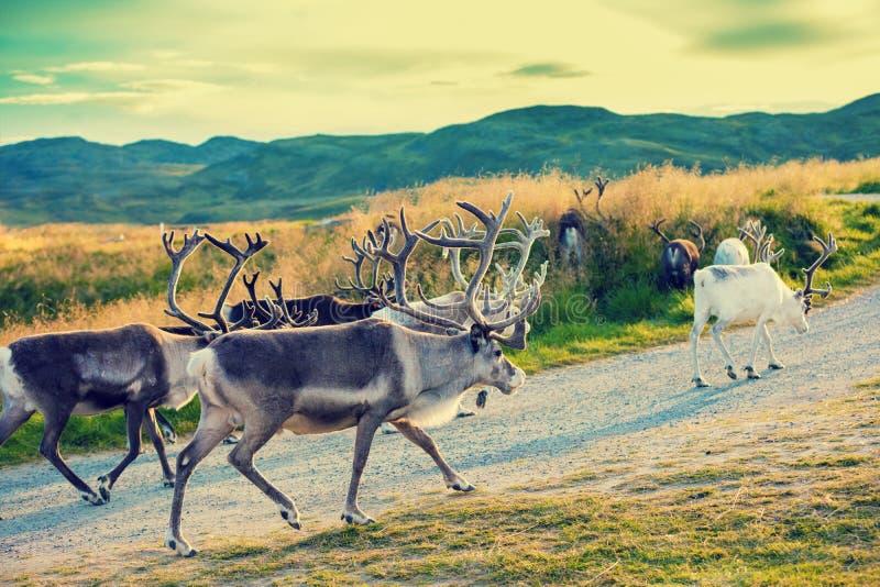 走沿路的鹿 库存照片