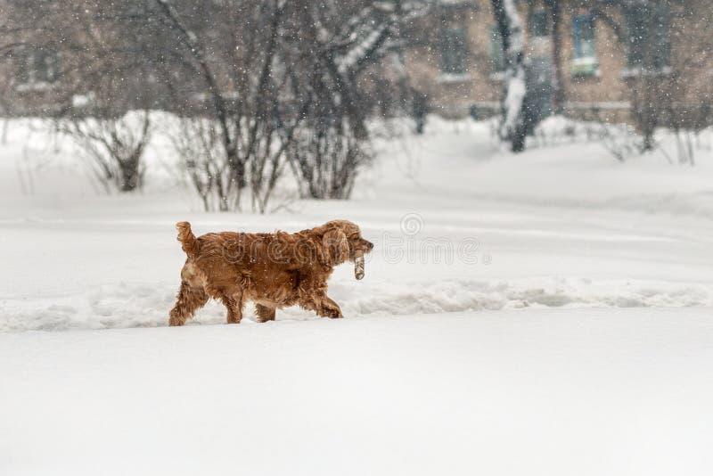 走用木棍子的幼小棕色斗鸡家狗在冬天 在嘴的乐趣逗人喜爱的宠物藏品树枝在进来期间 库存照片