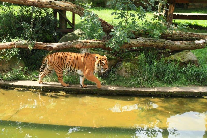 走由池塘的老虎 免版税图库摄影