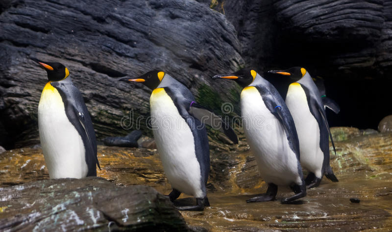 走的企鹅国王 库存图片