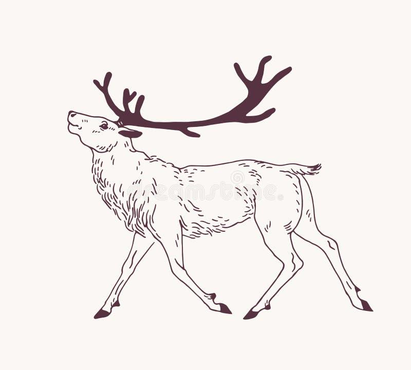 走的公鹿、驯鹿、牡鹿或者雄鹿外形图与华美的鹿角 优美的野生动物手拉与 向量例证