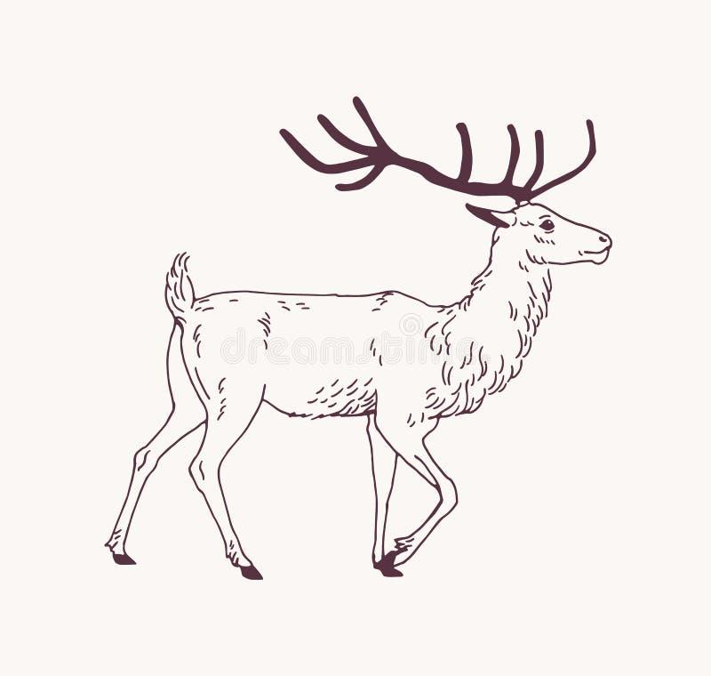 走的公鹿、驯鹿或者雄鹿典雅的外形图与美丽的鹿角 华美的森林动物画与 库存例证