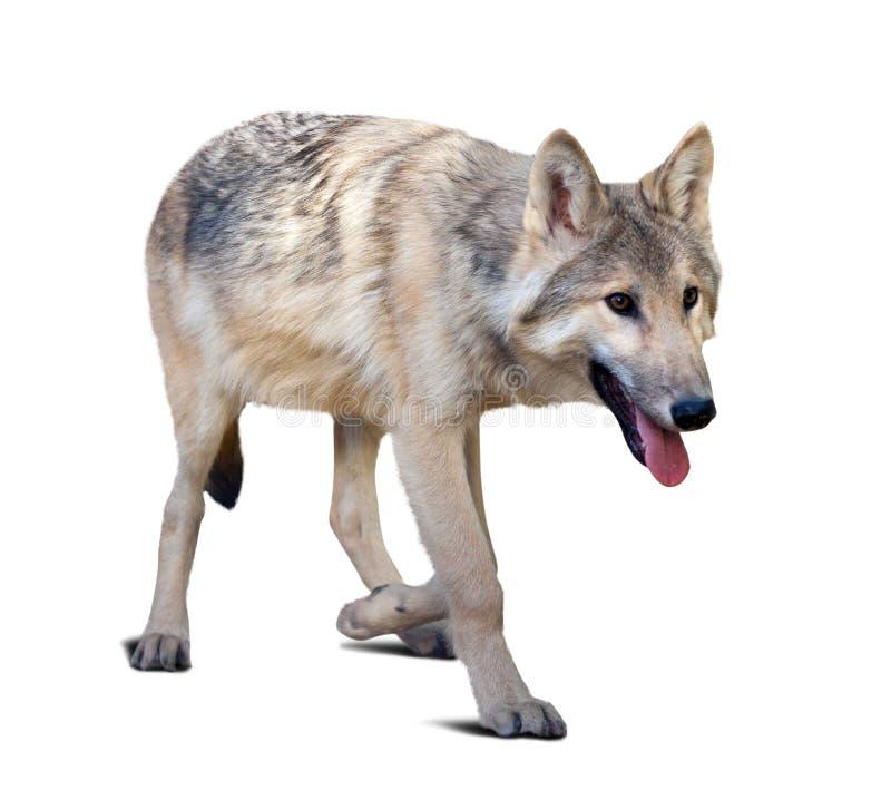 走的灰狼 免版税库存照片