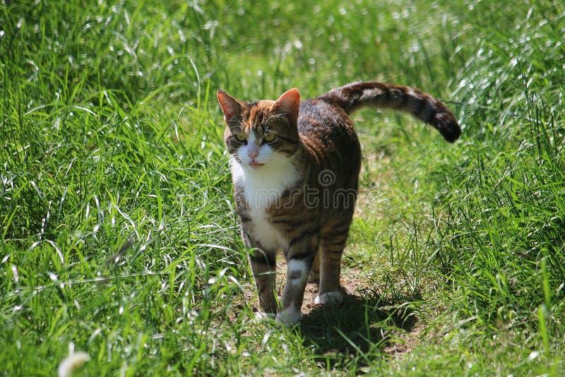 走的猫在庭院里 库存照片