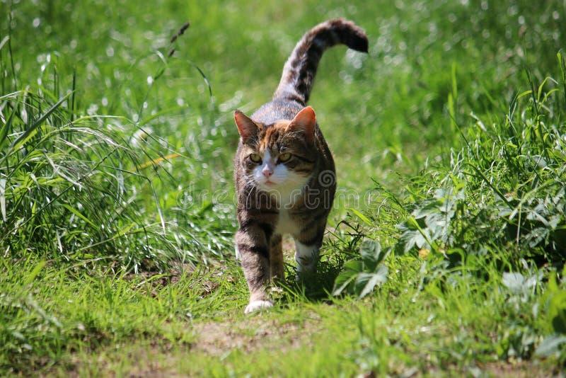 走的猫在庭院里 免版税库存照片