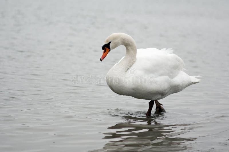 走的白色天鹅在水中 库存照片