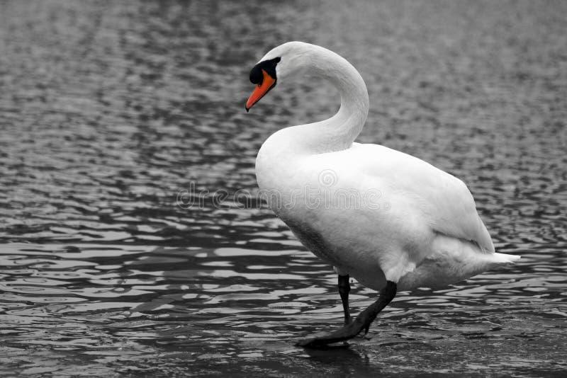 走的白色天鹅在水中 免版税库存图片