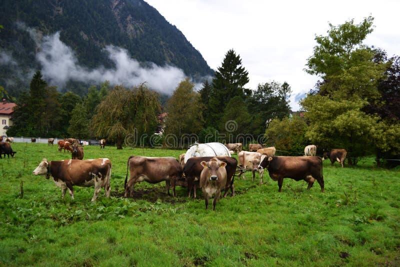 走的红发母牛在反对moun背景的一个草甸  库存照片