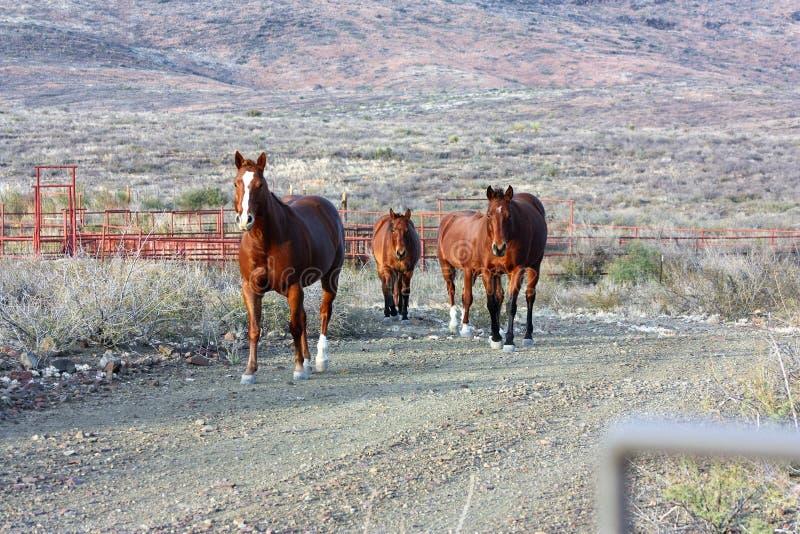 走的马大农场在西部得克萨斯 库存照片