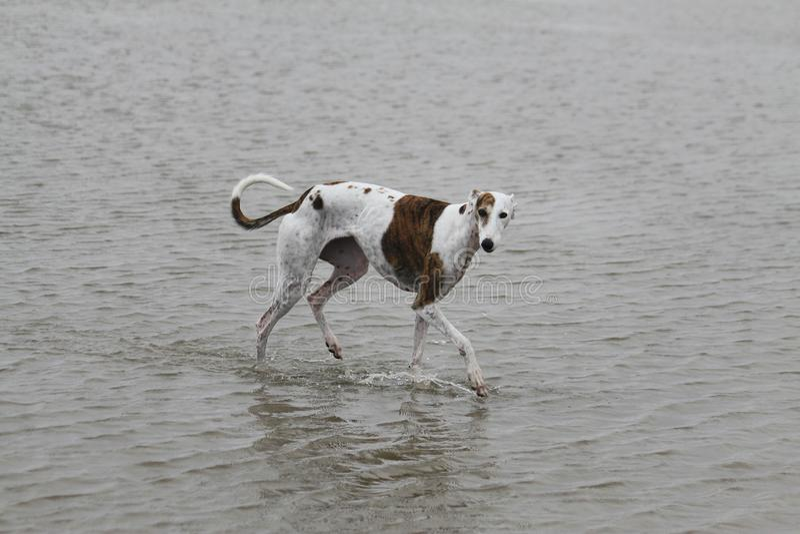 走的galgo在水中 免版税库存图片
