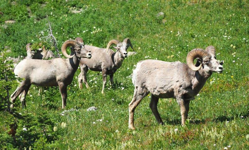走通过一个草甸的四只大有角的绵羊在冰川国家公园 库存图片
